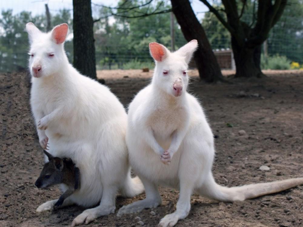 Double-Albinos